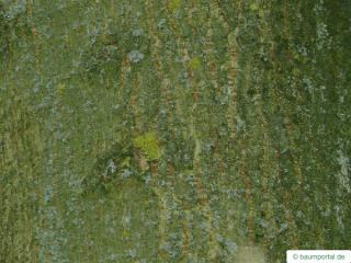boxelder (Acer negundo) stem