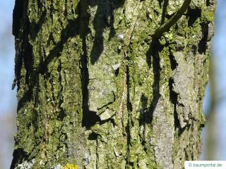 bur oak (Quercus macrocarpa) trunk / stem