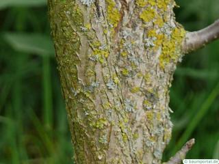 california buckeye (Aesculus californica) trunk / stem