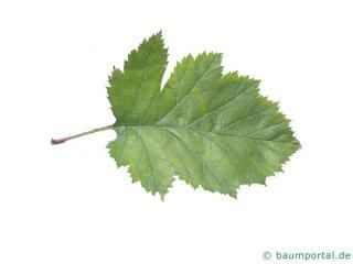 canadian hawthorn (Crataegus canadensis) leaf