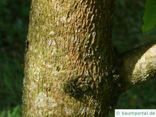 yellow horsechestnut (Aesculus x neglecta 'Erythroblastos') trunk / bark