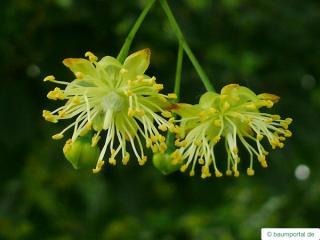caucasian lime (Tilia x euchlora) flower