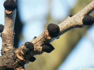 common ash (Fraxinus excelsior) buds