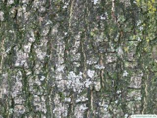 common ash (Fraxinus excelsior) trunk