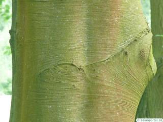 copper beech (Fagus sylvatica purpurea) trunk