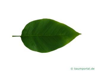 cucumber tree (Magnolia acuminata) leaf