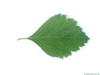 douglas hawthorn (Crataegus douglasii) leaf