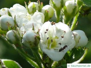 downy hawthorn (Crataegus mollis) blossom