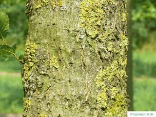 dutch elm (Ulmus hollandica) trunk / bark