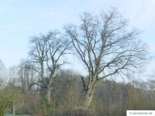 english oak (Quercus robur) tree