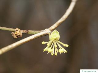 field maple (Acer campestre) flower