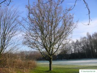 field maple (Acer campestre) tree in winter