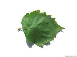turkish filbert hazel (Corylus colurna) leaf