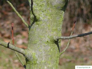 fire cherry (Prunus pensylvanica) stem /trunk
