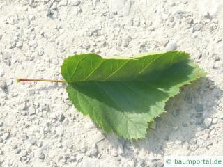fireberry hawthorn (Crataegus chrysocarpa) leaf