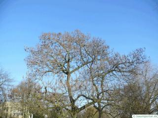 foxglove tree (Paulownia tomentosa) tree