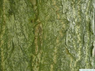 ginkgo (Ginkgo biloba) trunk