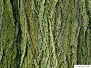 goat willow (Salix caprea) trunk / bark
