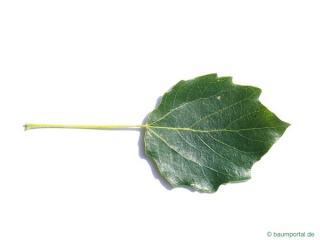 gray poplar (Populus × canescens) leaf