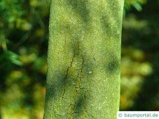 Grey mulga (Acacia brachybotrya) trunk / bark