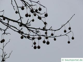handkerchief tree (Davidia involucrata) tree in winter