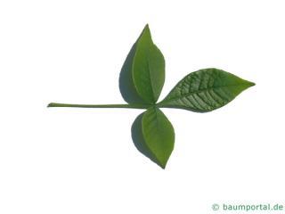 hoptree (Ptelea trifoliata) leaf