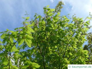 hornbeam maple (Acer carpinifolium) tree in summer