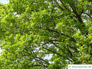 italian maple (Acer opalus) tree crown in summer