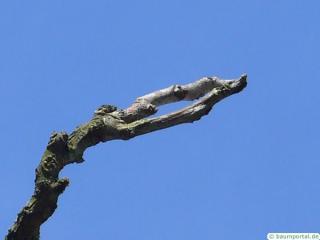 kentucky coffee tree (Gymnocladus dioicus) trunk