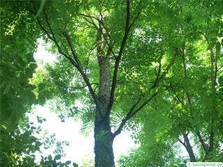 kentucky coffee tree (Gymnocladus dioicus) crown
