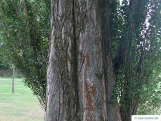 lombardy poplar (Populus nigra 'Italica') trunk / bark