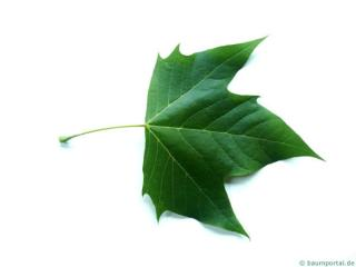 london plane tree (Platanus acerifolia) leaf