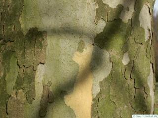 london plane tree (Platanus acerifolia) trunk / bark