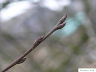 bird cherry (Prunus padus) bud