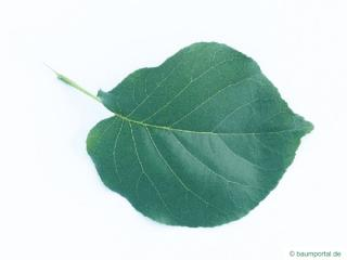 bird cherry (Prunus padus) leaf