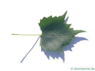 mongolian lime (Tilia mongolica) leaf