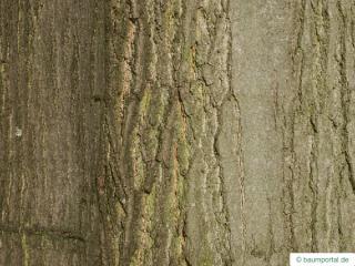 northern red oak (Quercus rubra) trunk / bark