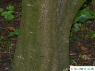 oak leaved beech (Fagus sylvatica 'Quercifolia') trunk / bark