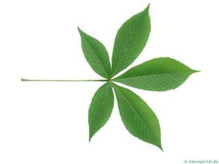 ohio buckeye (Aesculus glabra) leaf