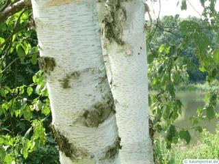 paper birch (Betula papyrifera) trunk / bark
