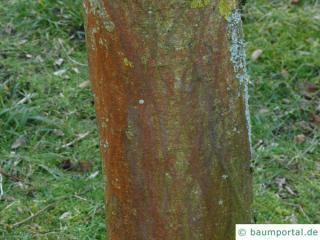 paper mulberry (Broussonetia papyrifera) brown-reddish bark