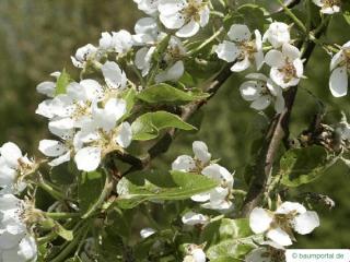pear (Pyrus communis) pear flower