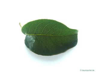 pear (Pyrus communis) the pear leaf
