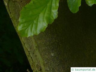 persian ironwood (Parrotia persica) trunk / bark