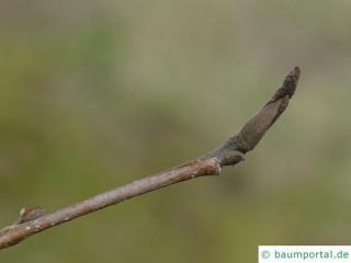 persian ironwood (Parrotia persica) terminal bud