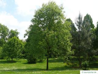pignut (Carya glabra) tree