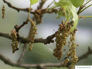 pin oak (Quercus palustis) flower