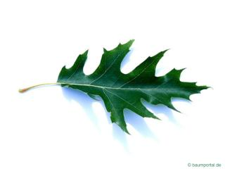 pin oak (Quercus palustis) leaf