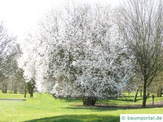 plum tree (Prunus domestica subsp. syriaca) tree in spring