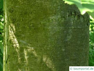 red alder (Alnus rubra) trunk / bark